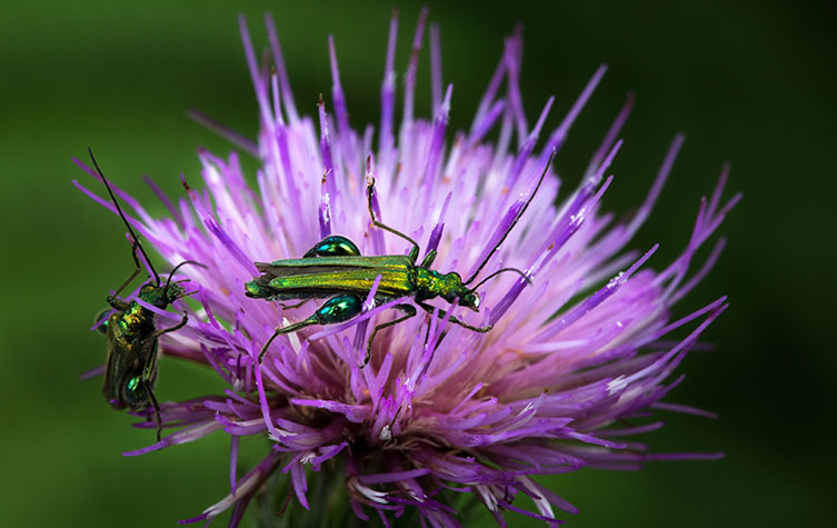 Two shiny green beetles with bulging upper legs on a purple flower