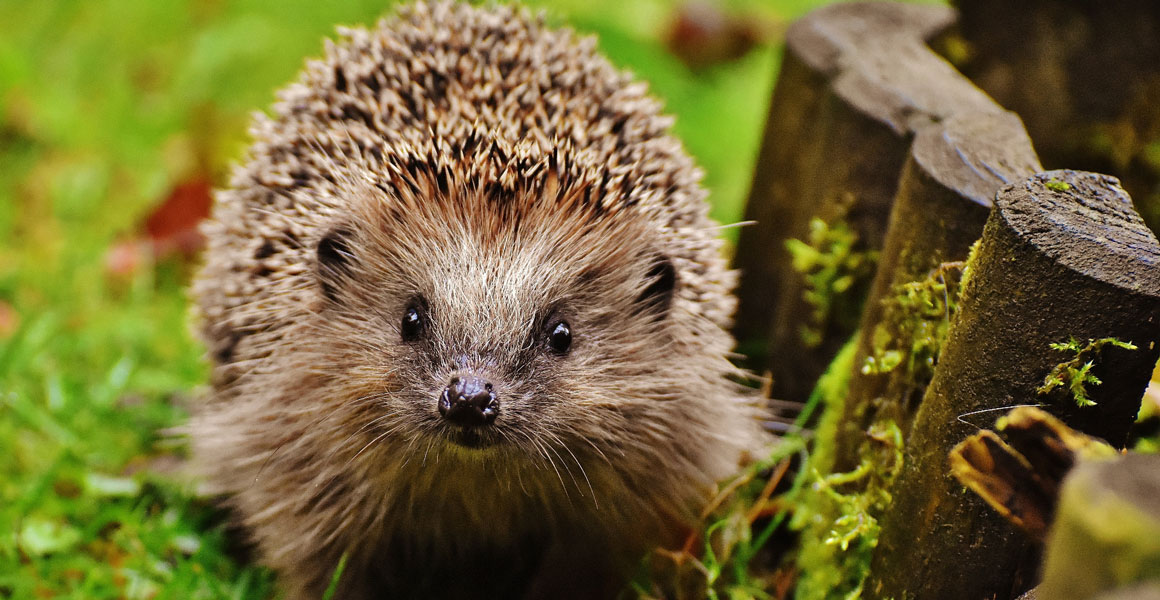 Hedgehogs and water voles face extinction in new Red List for British mammals