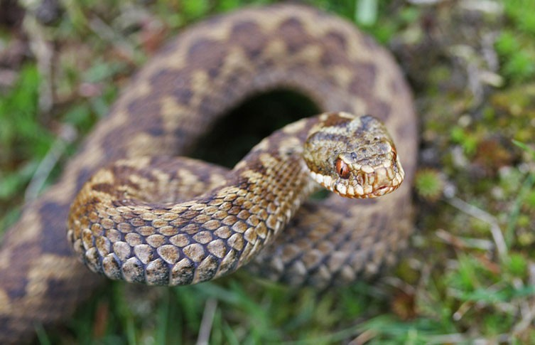 Should we be scared of British snakes? | Natural History Museum