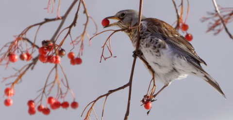 A fieldfare eating berries