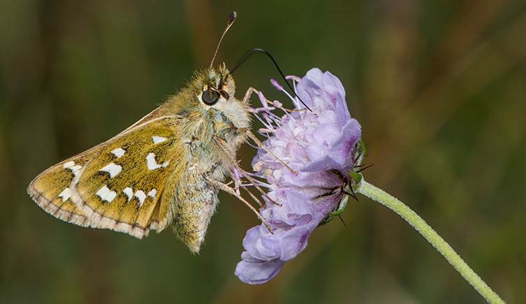 An image of a silver-spotted skipper