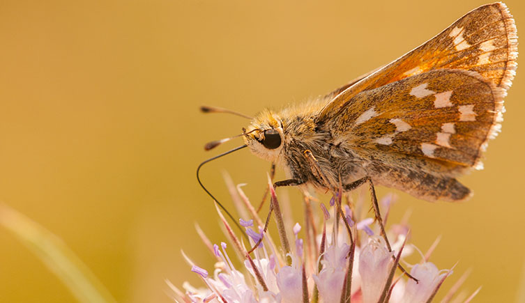 An image of a silver-spotted skipper on a flower