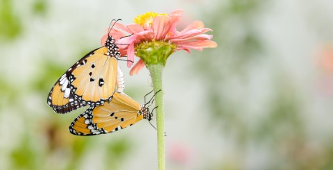 Two butterflies displaying a courtship ritual