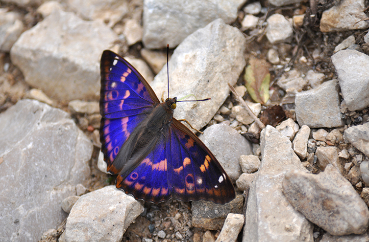 A purple emperor shows off its bright wings