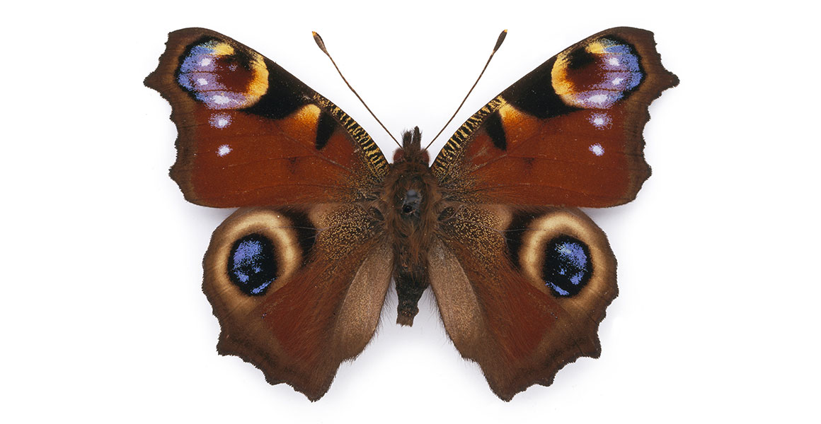 Image result for butterfly with eyespots