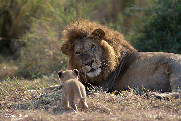 Male lion looking at approaching tiny cub
