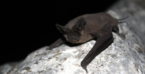 A Mexican free-tailed bat perched on a rock in a cave