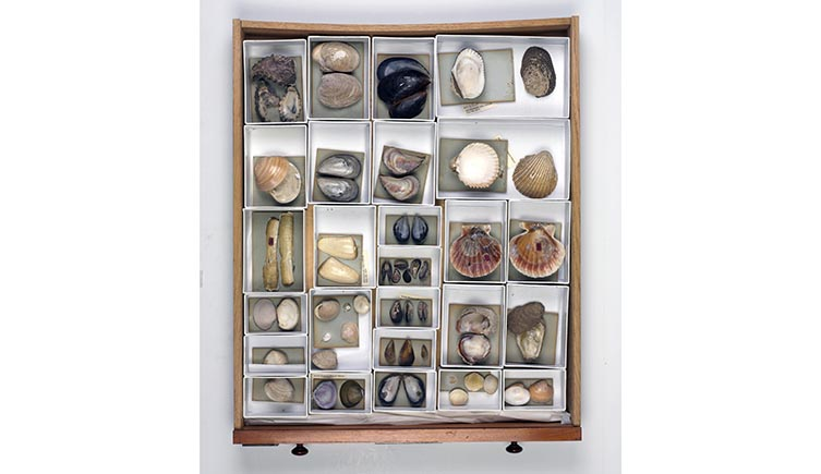 A drawer of different shells in separate compartments from Darwin's collection.