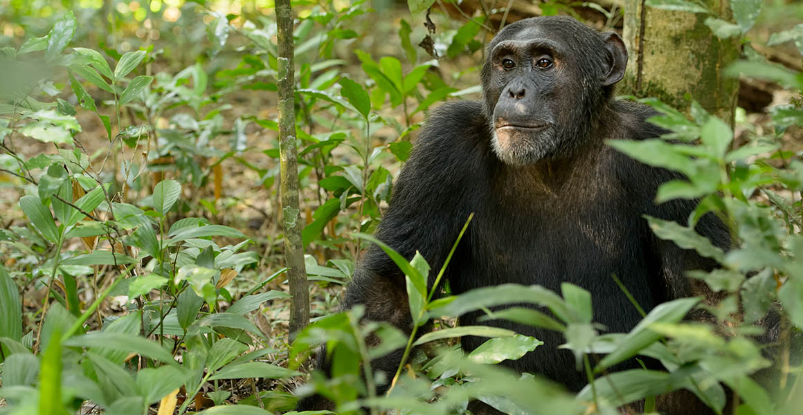 Chimpanzee sat in a forest