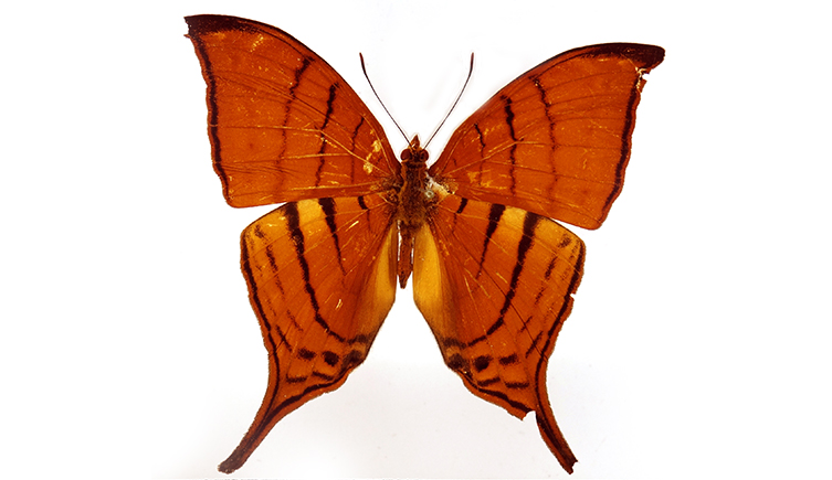 One of the butterfly species Blanca and her team found on the expedition