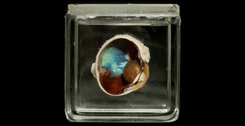Bisected reindeer eye with an iridescent blue layer visible