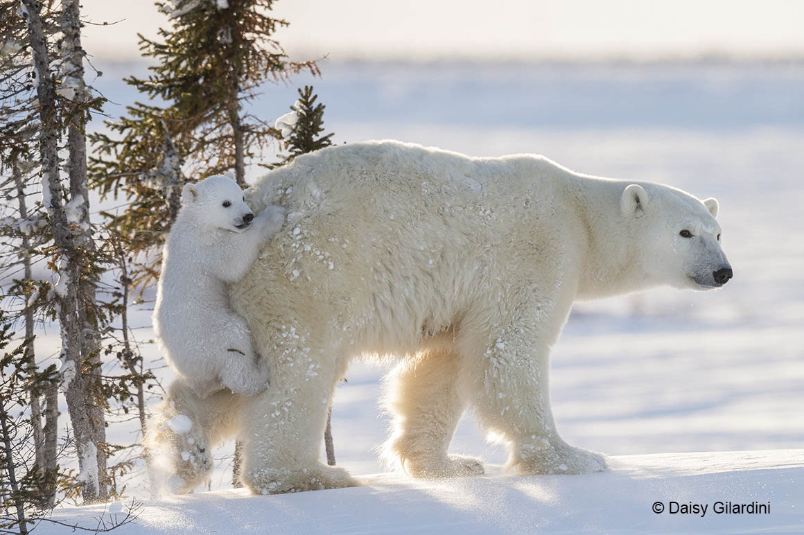 Daisy's shortlisted image, showing a polar bear mother and cub