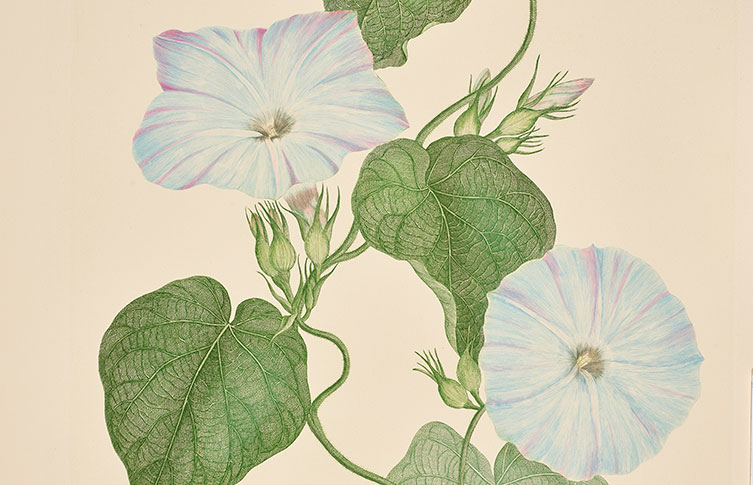 Blue morning glory illustration by Sydney Parkinson