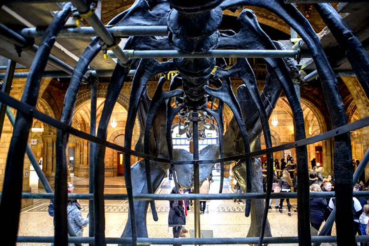 The view through Dippy's ribcage