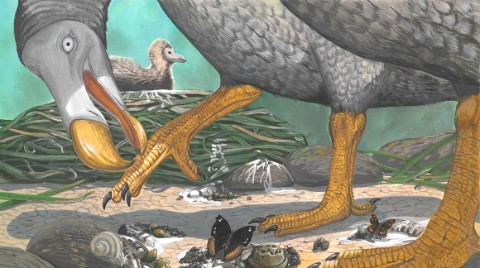 Dr Julian Hume's representation of what a dodo might have looked like