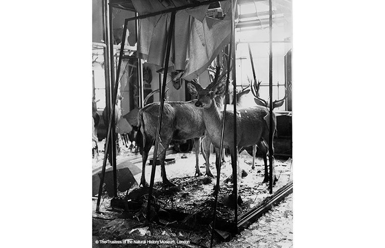 Second World War damage to the Lower mammals gallery deer display, 1944