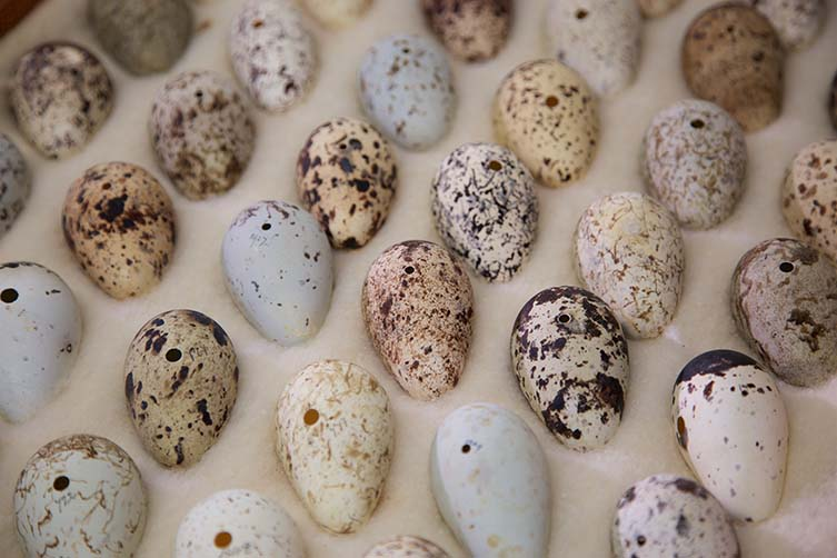 common-guillemot-eggs-two-column