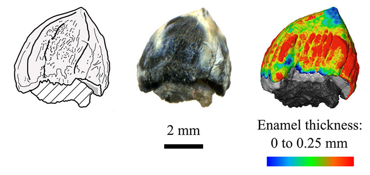 Neutron scanning shows the Eilenodon tooth had thicker enamel at its base than at its tip.