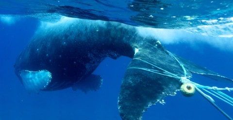 A humpback whale's tail pictured with blue fishing line dragging behind it as the animal swims.
