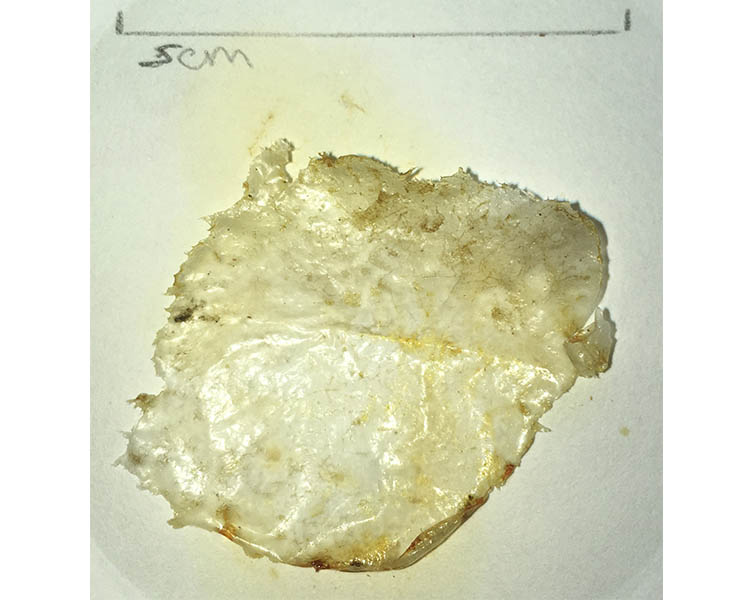 A piece of clear film found in the gut of a dogfish in the Thames.