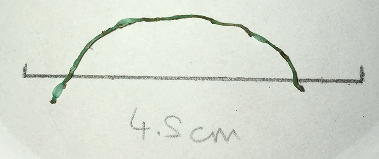 A small green fibre found in a thornback ray in the Thames
