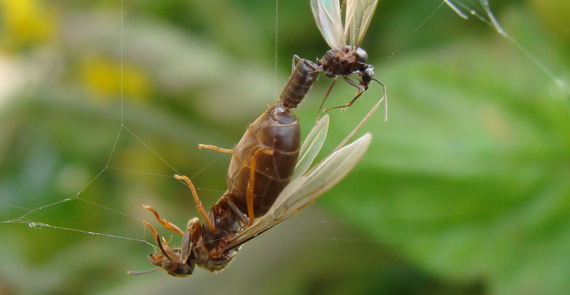 Flying Ant Day When Winged Ants Take Their Nuptial Flight Natural History Museum