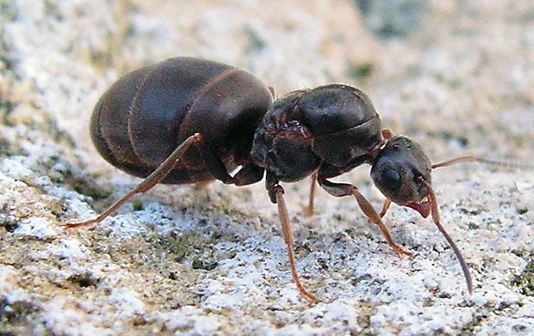 Flying ant day: when winged ants take their nuptial flight
