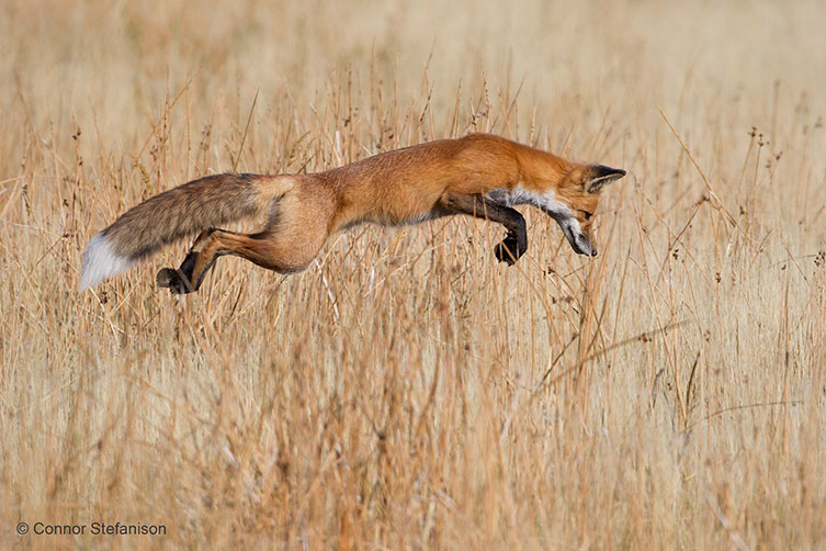 A Red Fox (Vulpes vulpes) successfully pounces on prey in Yellowstone National Park, USA.