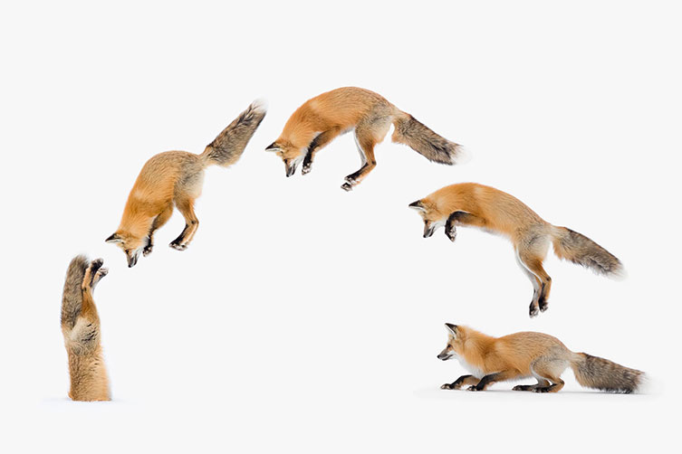 stuck-in-fox-jump-composite-two-column