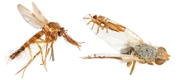 A midge, left, and Goniurellia tridens, a Middle Eastern fruit fly, from the Museum collections