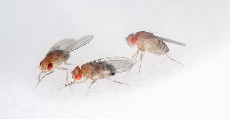 Three fruit flies on a white background