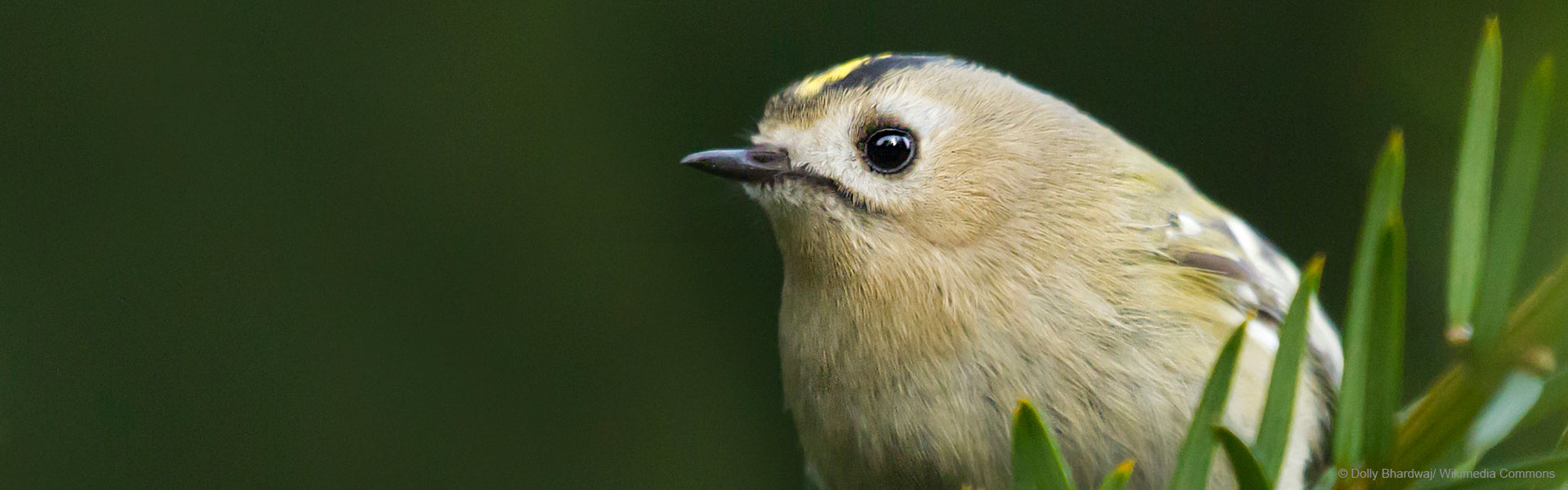 goldcrest-birdwatching-v2-hero-desktop