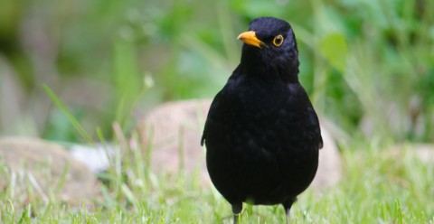 A male blackbird in a garden