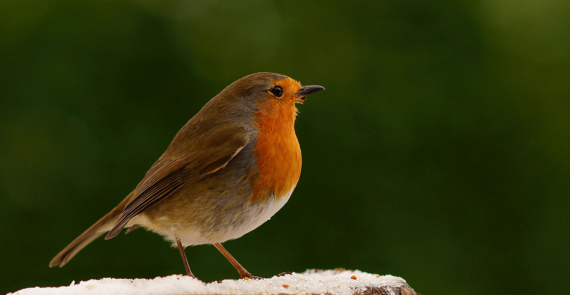 British garden birds: autumn and winter highlights