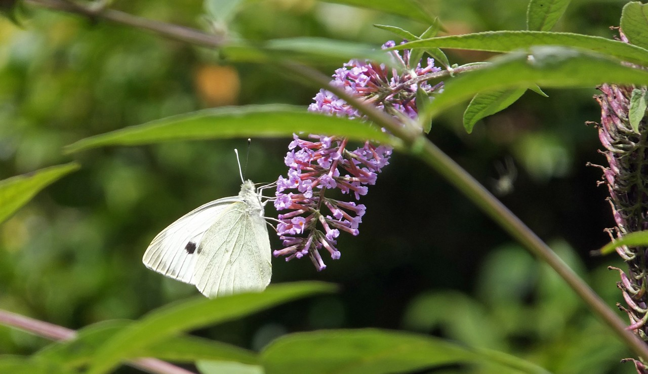 cabbage-white-lilac-two-collumn