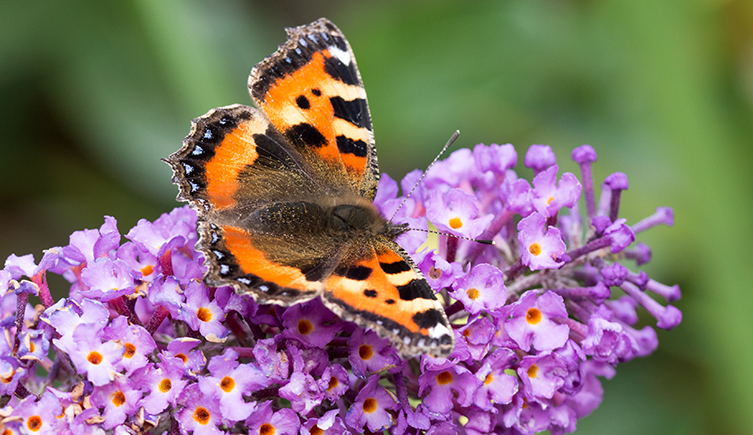 peacock-buddleia-two-collumn