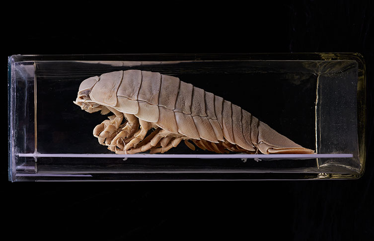 A giant isopod in the Museum's collection