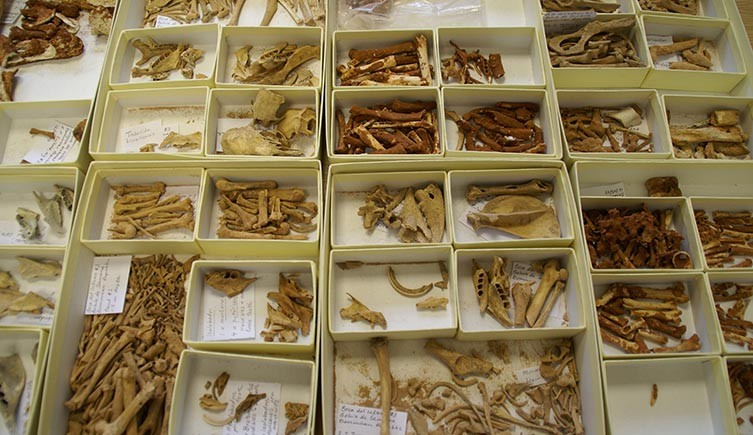 Multiple boxes containing the bones of extinct Caribbean rodents.