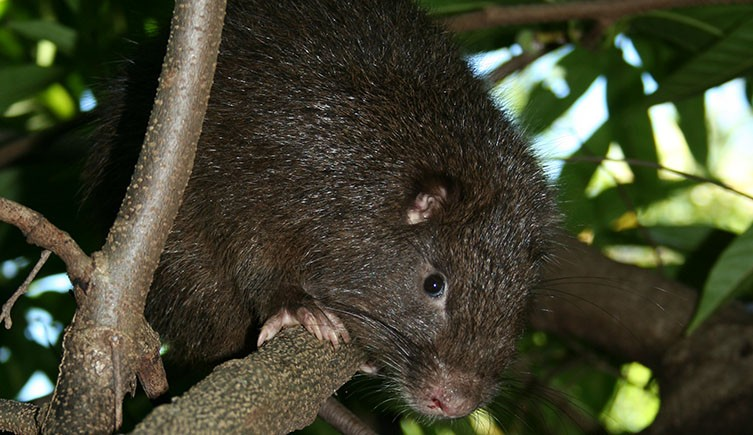 A Cribbean rodent peers down from the branches of a tree.