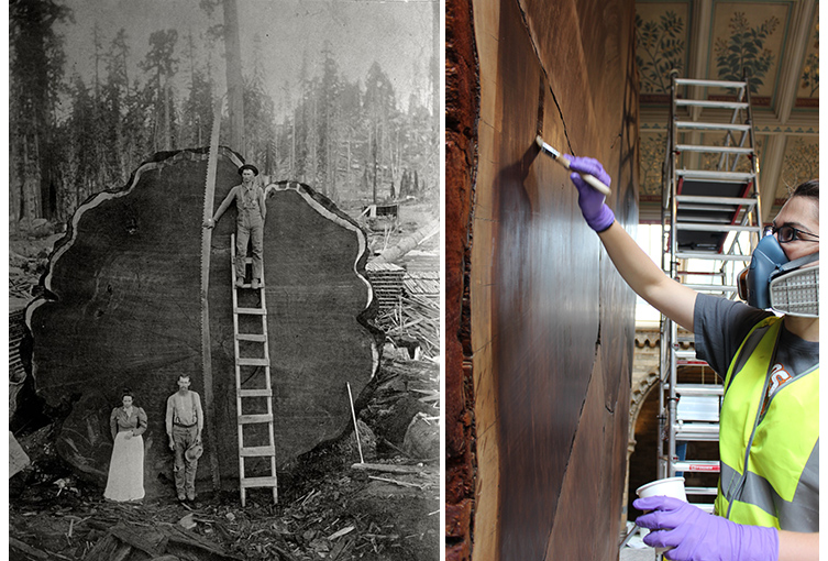 The felling of the sequoia in 1891, left, and Museum conservators working on the slice, right