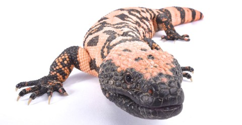 A Gila monster lizard