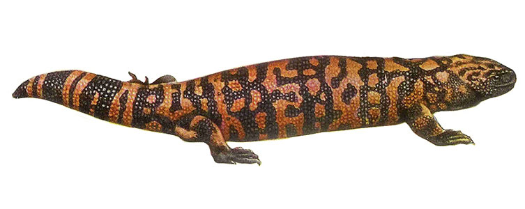 An illustration of a Gila monster