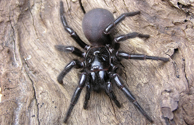 A Sydney funnel web spider