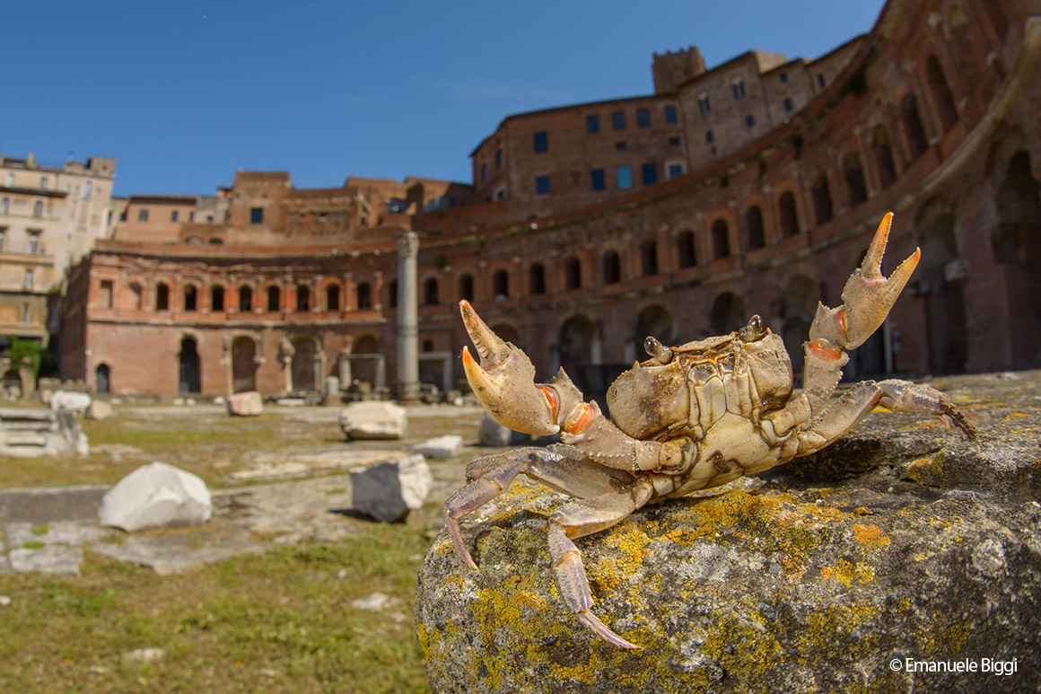 A crab performs a threat display in Emanuel Biggi's photograph 'The gladiator crab', one of 25 finalists for this year's People's Choice Award.