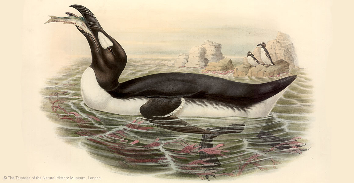 A hand-coloured lithograph depicting a great auk.