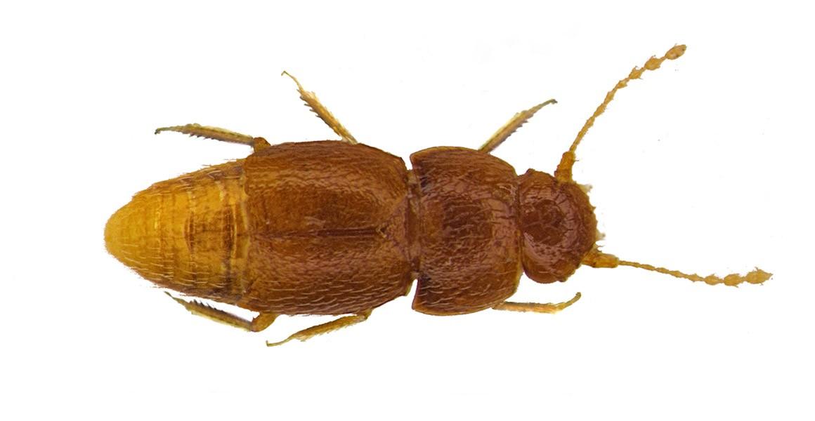 New species of beetle named after Greta Thunberg