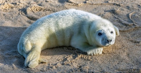 A grey seal pup on a Norfolk beach. Image: Shutterstock.com.