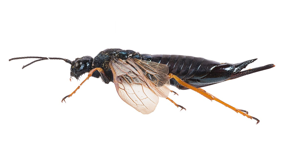 Grinch bugs: the heartless insects making a meal of