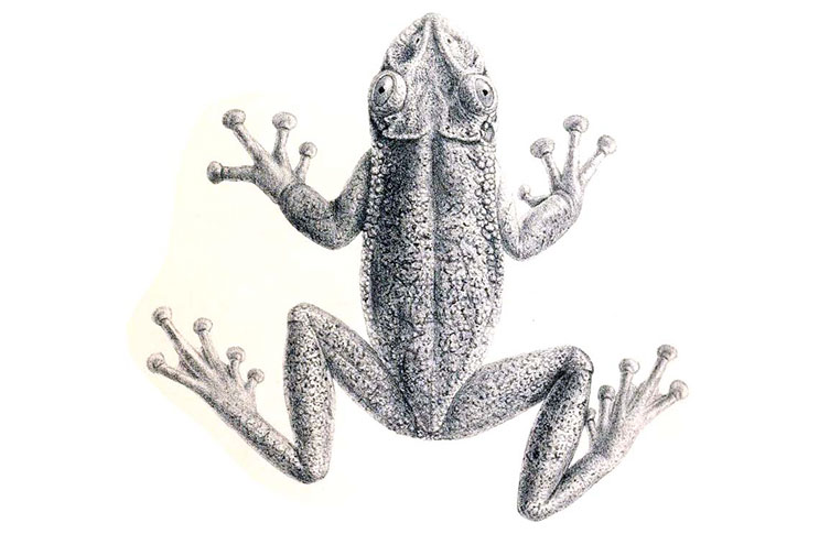 An illustration of a Greening's frog from 1896