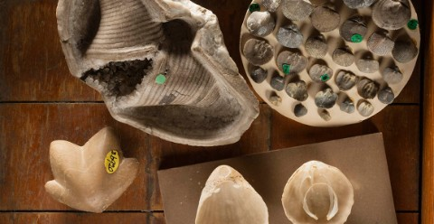 A collection of brachiopod specimens